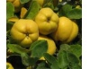 Najbolji lijek jeseni. Šta sve liječi dunja ?! +recepti
